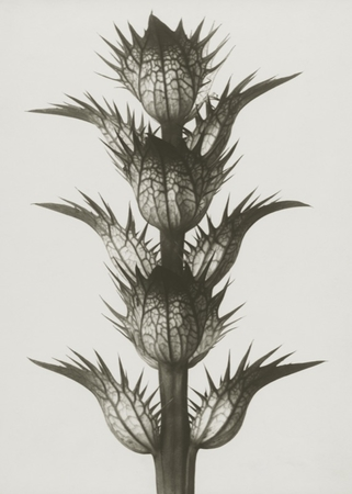 blossfeldt_acanthusmollis
